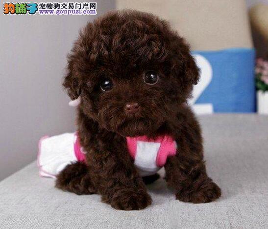 CKU认证犬舍出售高品质泰迪犬质保三年支持送货上门
