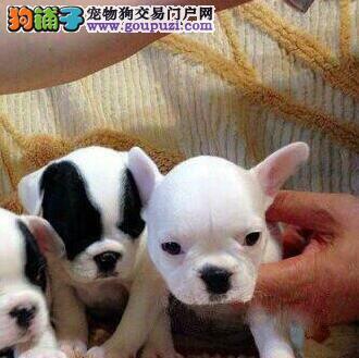低价出售优质纯种东营斗牛犬 已做好进口疫苗有证书
