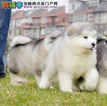石家庄出售阿拉斯加犬公母都有品质一流价格美丽品质优良