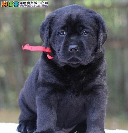 直销出售优秀拉布拉多犬贵阳地区最低价已做好驱虫