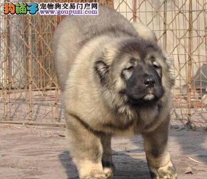 出售纯种大型高加索犬