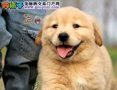 完美品相的保定金毛幼犬找新主人 求好心人士收留幼犬