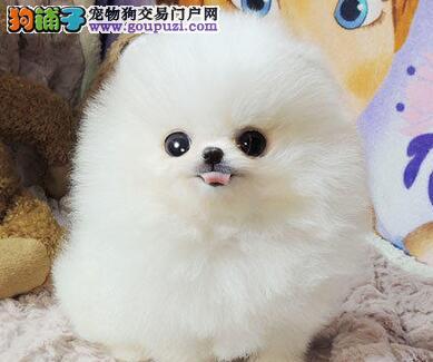 保定正规狗场售雪白色的博美犬 公母均有大家不要错过