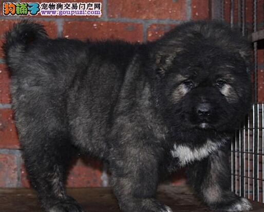 俄系熊版高加索犬保健康
