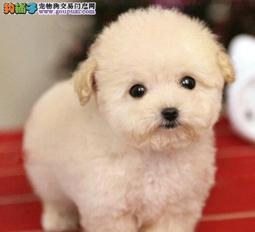 自家火红泰迪幼犬乖巧可爱等您来抱回家哦!
