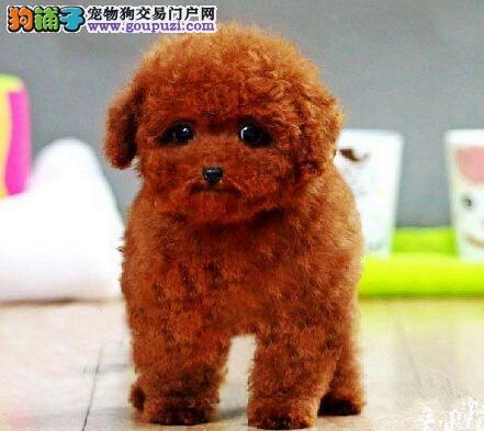 家养赛级贵宾犬宝宝品质纯正品质血统售后均有保障