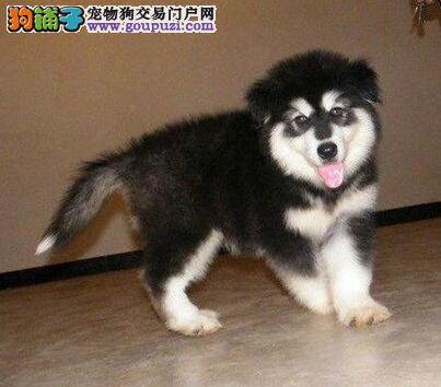 CKU-北京市最大最专业的巨型阿拉斯加犬-繁殖基地