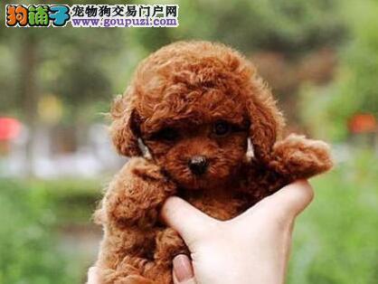 多种颜色多种血系的太原泰迪犬找爸爸妈妈 非诚勿扰