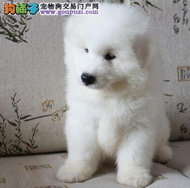 赛级后代纯白色熊版萨摩 欢迎重庆参观选购