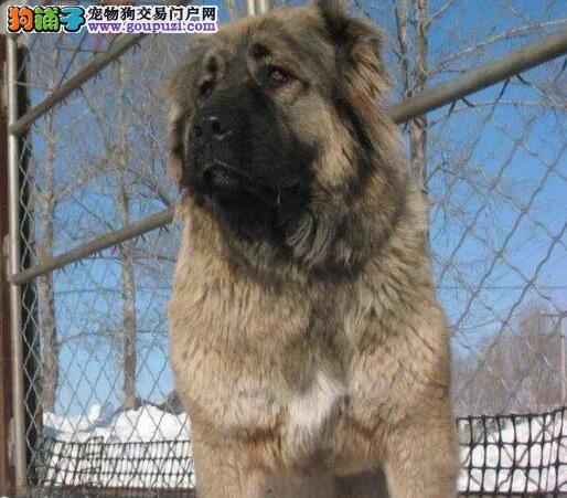 狼青色熊版品相的东莞高加索犬热卖中 一分价钱一分货