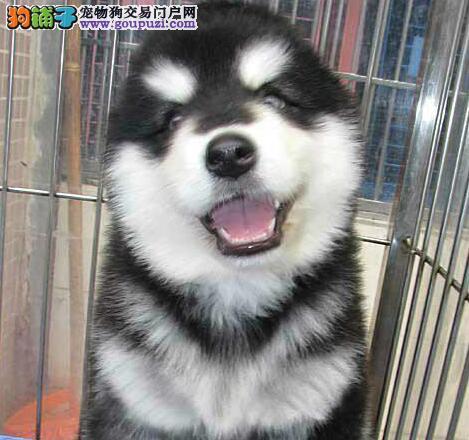 东莞正规犬业转让十字脸阿拉斯加犬 黑色棕色公母均有