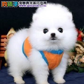 哈多利球形血系的东莞博美幼犬找新家 一分价钱一分货