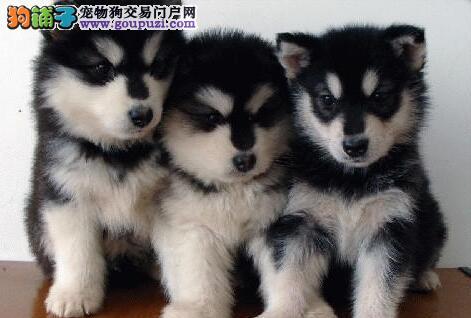 十字脸桃脸品相的杭州阿拉斯加犬找新主人 保健康养活