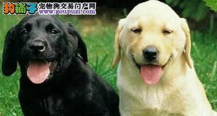 完美品相疫苗驱虫齐全的东莞拉布拉多犬出售 欲购从速