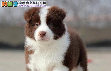 高智商易训练的东莞边境牧羊犬找新主人 狗贩子勿打扰