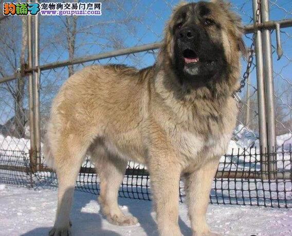 转让高大威猛超大体型的东莞高加索犬 狼青色熊版品相
