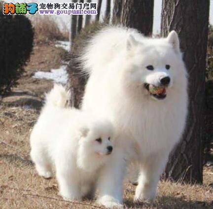 青岛大型养殖基地优惠直销萨摩耶宝宝 雪白色没有杂毛