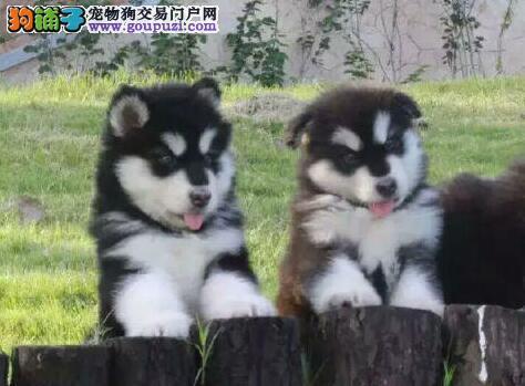十字脸帅气英俊的成都阿拉斯加犬出售 超低价超高品质