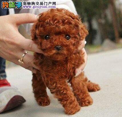 青岛正规犬舍直销巨型贵宾犬 多种颜色多种血系好品相