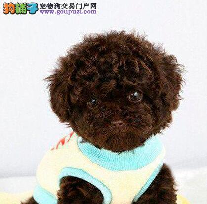 青岛繁殖基地直销多种颜色的泰迪犬 乖巧可爱十分听话