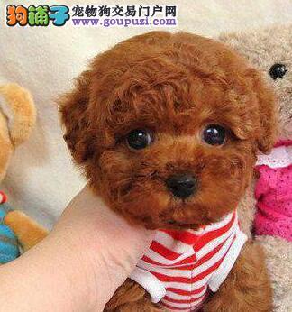 上海大型犬舍热销韩系泰迪犬 品种齐全颜色多样毛色佳
