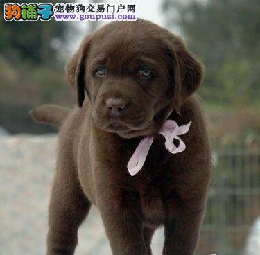 直销出售纯种拉布拉多犬 邯郸地区可免费包邮支持发货