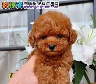 优惠价格出售纯种邯郸泰迪犬 国外引进可签订售后协议