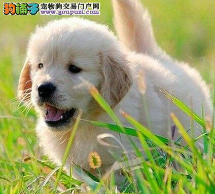 正规犬舍繁殖出售纯种南昌金毛犬 已做疫苗可视频看狗