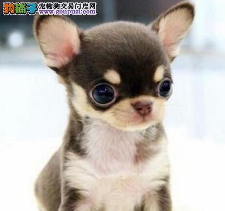 体形超小品相超棒的昆明吉娃娃幼犬待售中 欲购从速