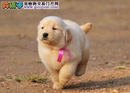 甘南州大型养殖基地直销血统纯正的金毛犬 赛级血统品质