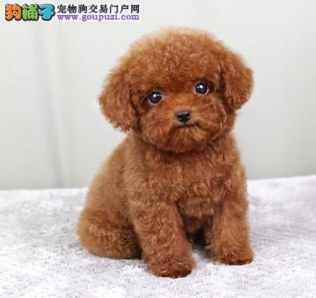 家养极品泰迪犬出售 可见父母颜色齐全均有三证保障