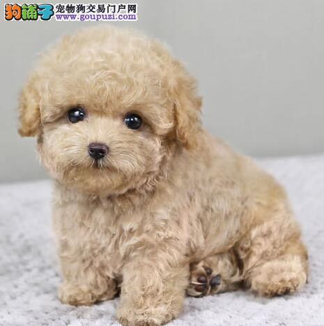 昆明正规狗场低价出售茶杯玩具血系的泰迪犬 签协议