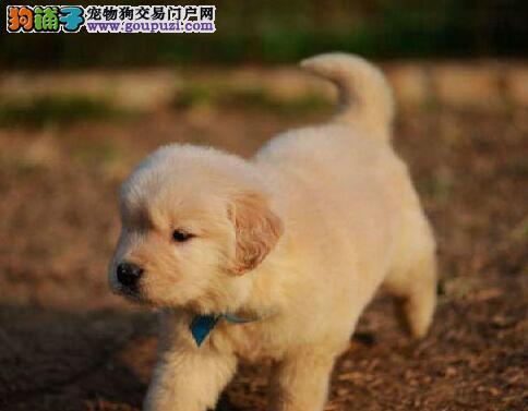 低价转让精品大骨架金毛犬 惠州周边可送狗支持空运