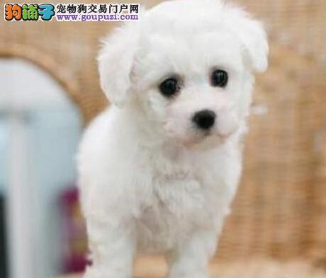 低价转让健康可爱广州比熊犬 所有犬只均保证纯正健康