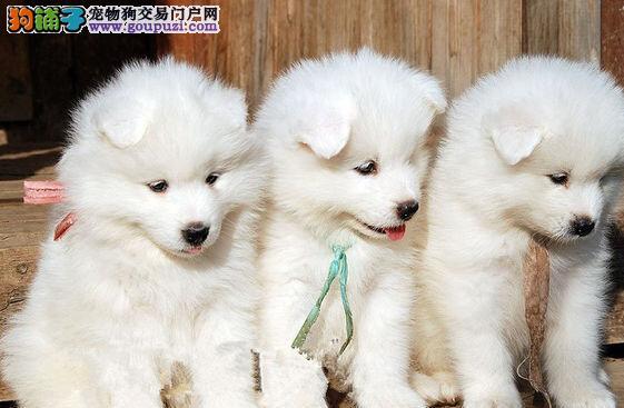 出售纯种美系宽嘴萨摩耶幼犬欢迎选购