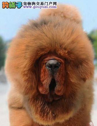 纯种藏獒犬狮王血系 武汉火爆销售 价格合理 可面议