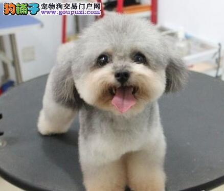 狗场繁殖多只小型金华贵宾犬低价出售保活保健康