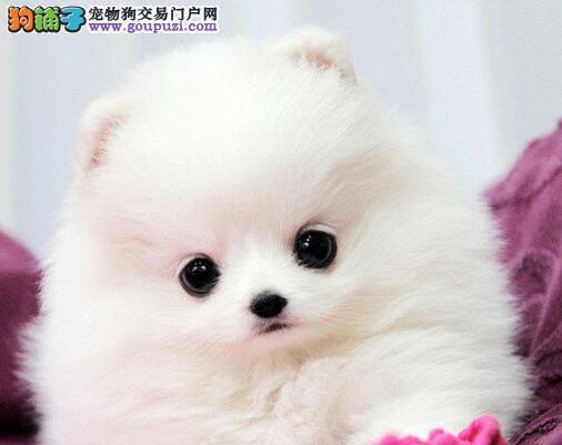 湘潭大型犬舍低价热卖极品博美犬签署各项质保合同