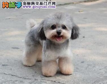 纯种玩具茶杯贵宾犬出售 卷毛贵宾犬繁殖 狗场直销