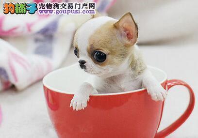 娇小可爱的保定吉娃娃幼犬找新主人 求好心人士收留犬