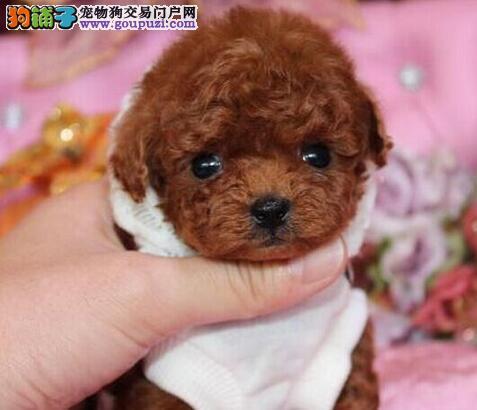 成都地区出售泰迪犬 血统纯正身体健康多只购买可优惠