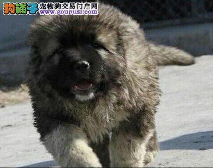 济南实体店面出售威猛帅气的高加索犬 保证品质健康