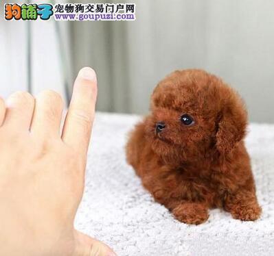 济南自家繁殖的巨型贵宾犬找新家 喜欢的朋友别错过
