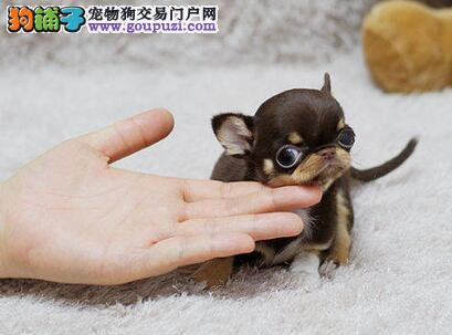 大眼睛超小体的济南吉娃娃犬找新家 一分价钱一分货