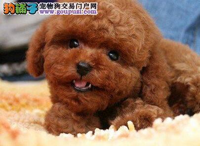 郑州正规犬舍高品质泰迪犬带证书可签订活体销售协议