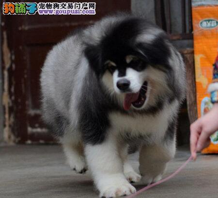 顶级阿拉斯加犬出售 品质保障 完美体型 售后完善