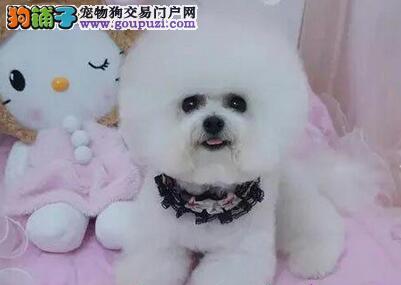 济南正规犬舍繁殖出售顶级品质的比熊宝宝 欲购从速