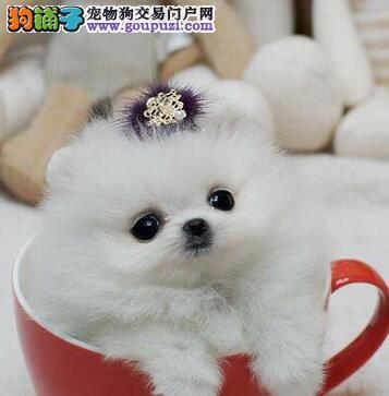 出售大毛量超小体活泼可爱的广州博美犬 包养活包售后