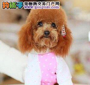 巨型贵宾犬现因个人原因低价转让 仅限广州的朋友选购