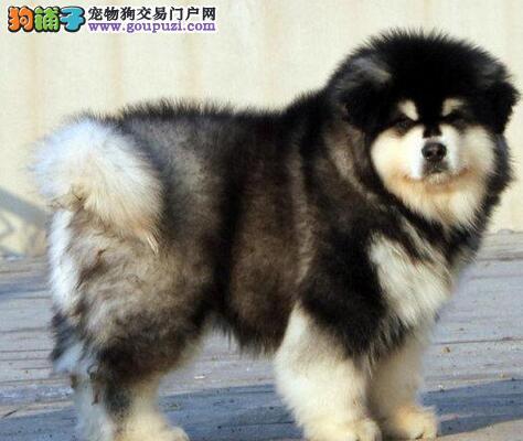 超大赛级雪橇犬阿拉斯加幼犬宝宝
